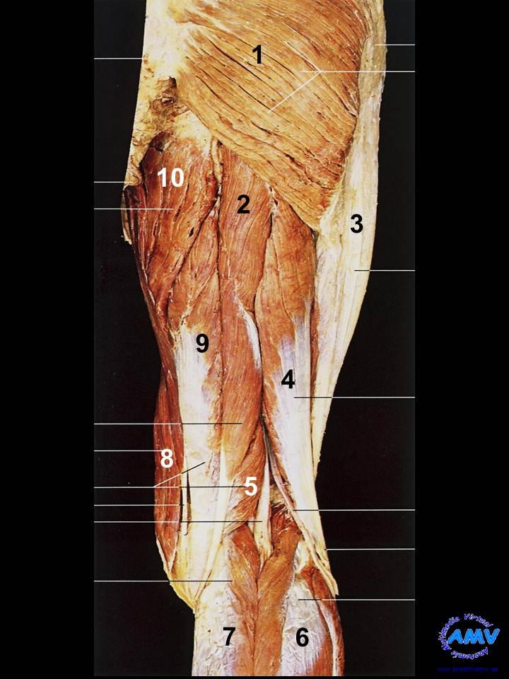 Disección Región Posterior del Muslo I