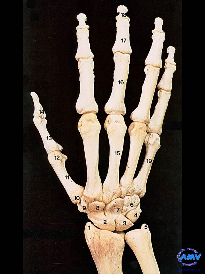 Extremidad Superior: Huesos de la Mano Superficie Dorsal