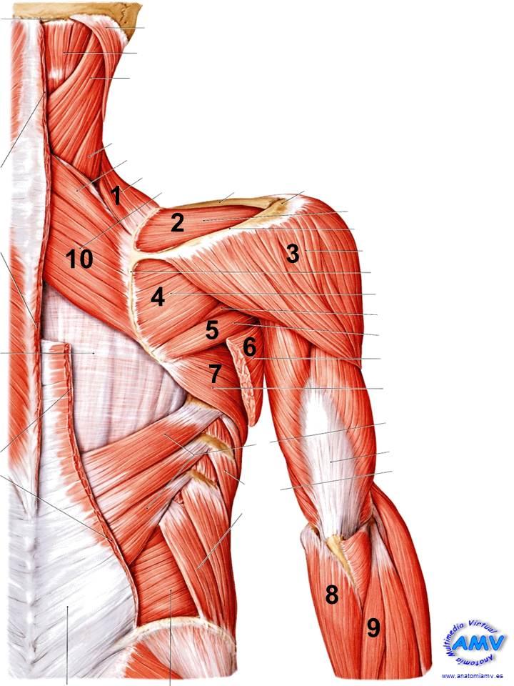Musculatura Cintura Escapular y Hombro.
