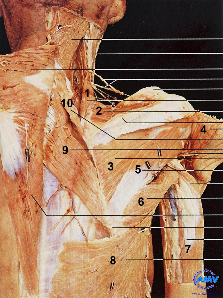 Musculos 03jpg Picture to Pin on Pinterest - PinsDaddy
