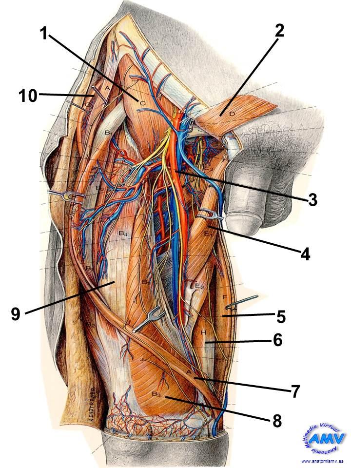 Topografía Ventral del Muslo