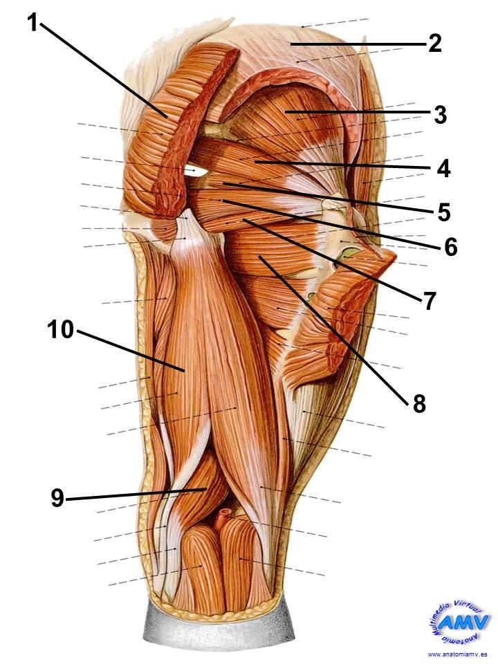 Topografía Dorsal del Muslo