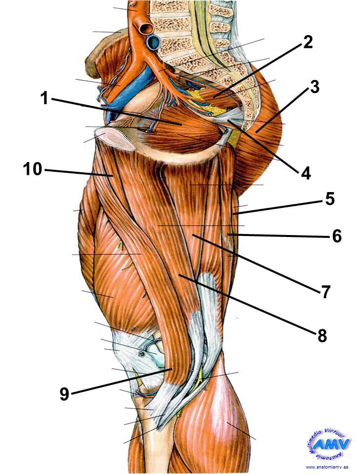 Topografía Medial del Muslo