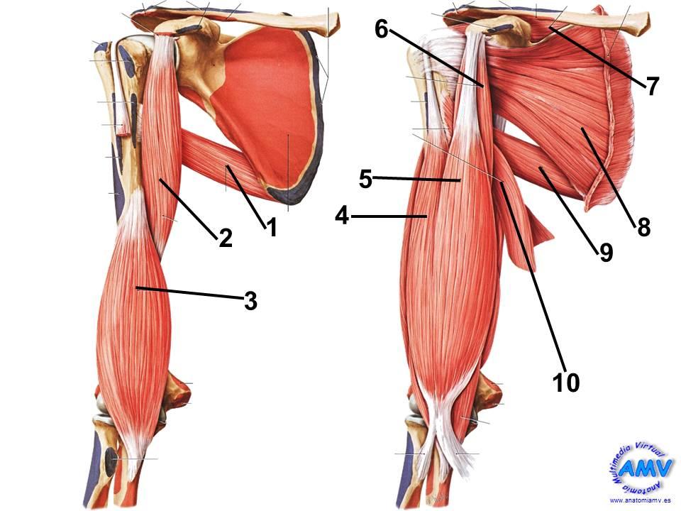 Musculatura Ventral del Hombro y Brazo