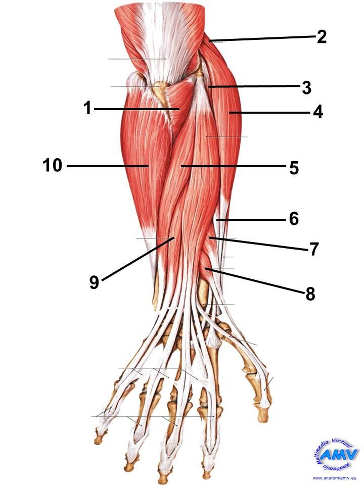 Bonito Músculos Del Antebrazo Imagen - Imágenes de Anatomía Humana ...