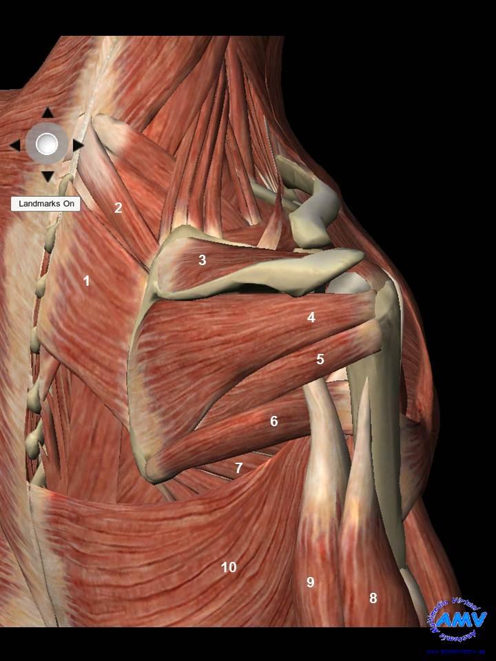 Músculos del Hombro y Brazo III